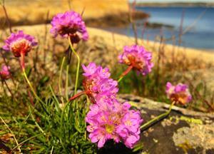 Strandtriften blommar