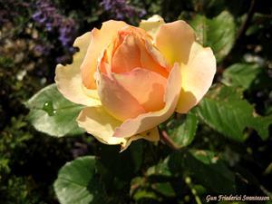 Sommarens sista ros