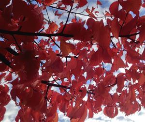 Röda höstblad
