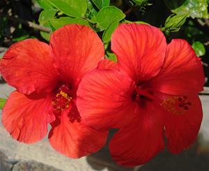 Hibiskus flower
