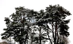 Träd - Gesällg