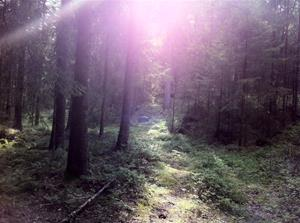 Solsken i skogen