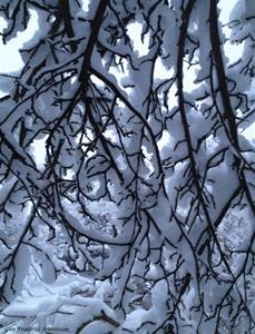 Snötyngda grenar