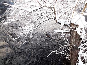 Änderna simmar i det iskalla vattnet.