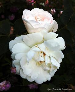 vita gammeldags rosor