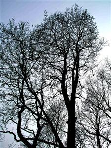 Trädkronor i motljus
