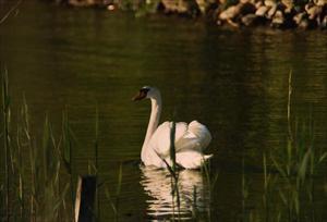 Den ensamma svanen i Hällungen.