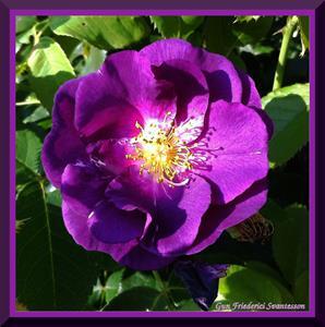 Gammaldags blålila ros