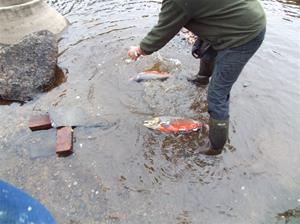 fiskutsättning 018