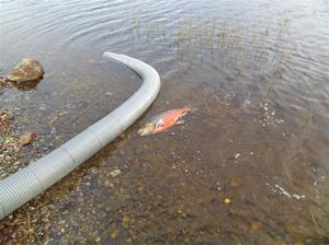 fiskutsättning 031