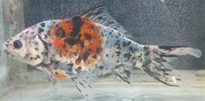 Guldfisk