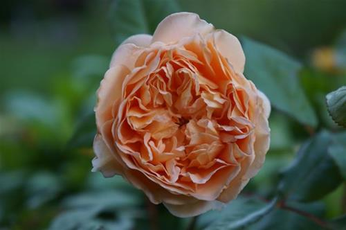 `Crown Princess Margareta´.