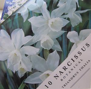 Narciss `Thalia´.