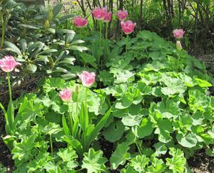 Tulpaner och daggkåpa