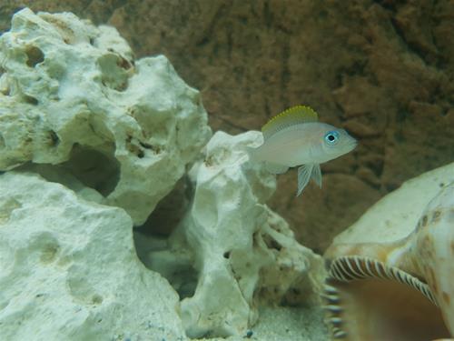 Neolamprologus caudopunctatus.