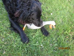Loke med sin nya leksak, Gåsen. Den ger ett fruktansvärt ljud ifrån sig när han leker med den. IMG_1649