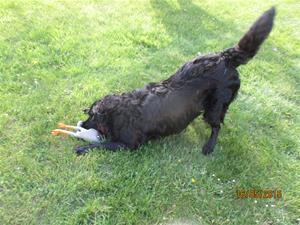 Loke med sin nya leksak, Gåsen. Den ger ett fruktansvärt ljud ifrån sig när han leker med den. IMG_1652