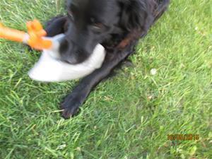 Loke med sin nya leksak, Gåsen. Den ger ett fruktansvärt ljud ifrån sig när han leker med den. IMG_1647