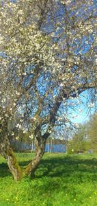 körsbärsblomst
