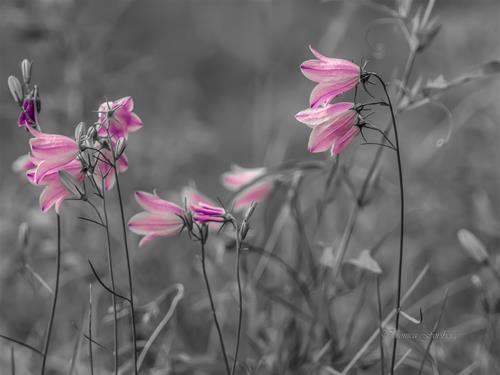 Rosa blåklockor, sign 100 grå canvas