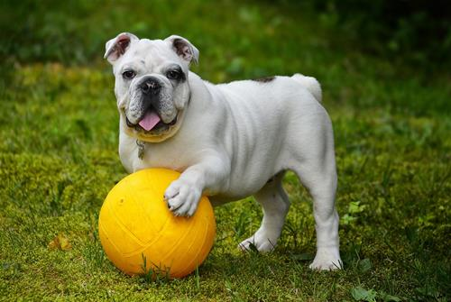 english-bulldog-562723_1280