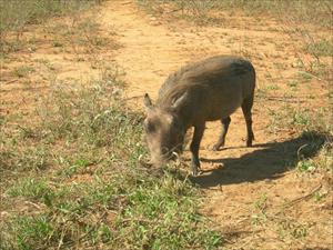 Vårtsvin i Krugerparken