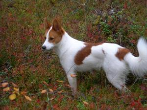 Tintin i jaktskogen