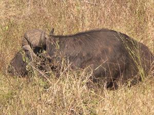 Buffel i Krugerparken