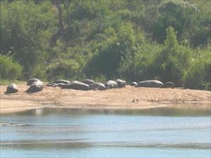 Flodhästar vid Sabiriver