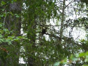 Orrhöna vid Långträsket 23 aug 09