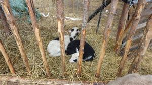 Canels lamm har hittat sovplats i höhäcken