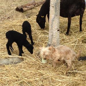 Milou och Bälla med lamm