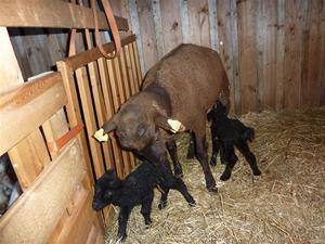 Asta med sina två lamm 2012 dag 1