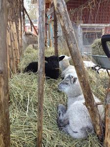Lammen vilar ut i höhäcken