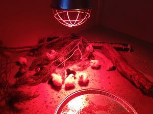 Kycklingarna nyss ute ur kläckmaskinen