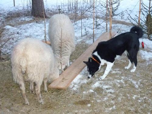 Semlan och fåren