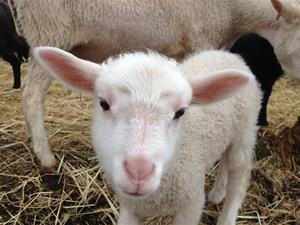 Snövits lamm