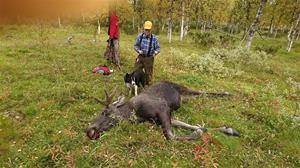 Älg nr 2 i Västerbotten 2017