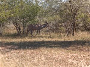liten kudutjur