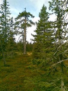 Vittjåkks urskogsreservat