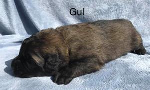 s_2_gul_1