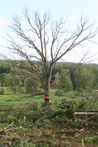 Ta ner träden 008