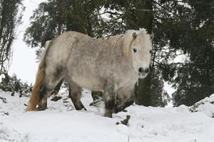 Hästen Lady