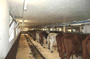 Mjölkkorna i den nytvättade ladugården
