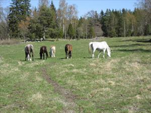 Hästarna på första betet