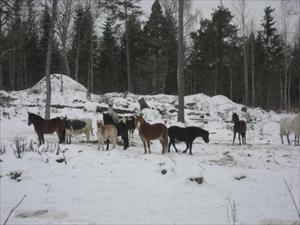 Alla hästarna i vinterhagen