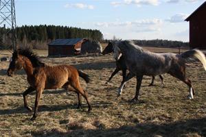 Glada hästar på bete