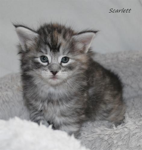 Scarlett 4v d