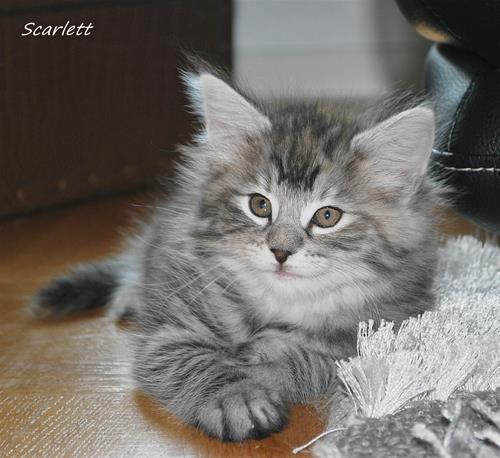 Scarlett 7v a