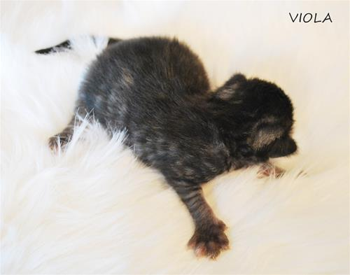 Viola 1v